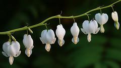 white flowers (Håkan Jylhä (Thanks for +1000000 views)) Tags: vit blomma grön green dof håkan jylhä sony rx10iv sweden sverige bug
