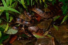 Red-Banded Snake 2 (Bob Hawley) Tags: herpetology snakes reptiles animals asia wildlife nature nikond7100 nocturnal nikon28105mmf3545afd nantoucounty wujie creatures nighttime redbandedsnake dinodonrufozonatum lycodonrufozonatum