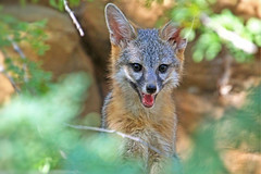 Kit Smile (Monkeystyle3000) Tags: gray fox kit baby animal desert nevada