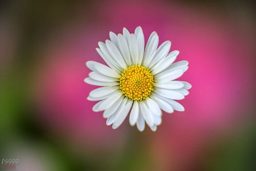 Daisy on Pink