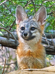 Noble Kit (Monkeystyle3000) Tags: gray fox kit desert animal nevada