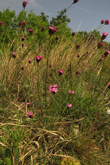Dianthus carthusianorum (aniko e) Tags: pink flower plant caryophyllaceae dianthus dianthuscarthusianorum carthusianpink nelke karthäusernelke barátszegfű szegfű tamáshegy balatonuplandsnationalpark balatonfelvidékinemzetipark balaton balatonfüred bfnp spring hungary