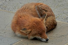 Sleepy Mum (Deepgreen2009) Tags: vixen fox animal patio mother resting sleeping curled round relaxed garden home