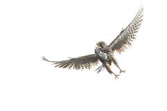 R19_1805-2 (ronald groenendijk) Tags: cronaldgroenendijk 2019 rgflickrrg animal bird birds birdsofprey copyrightronaldgroenendijk europe falcon kestrel nature natuur natuurfotografie netherlands outdoor ronaldgroenendijk roofvogels tinnunculus torenvalk vogel vogels wildlife