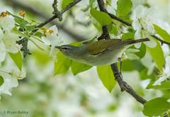 Tennessee Warbler (bbatley) Tags: birds wildlife inatree male tennesseewarbler warbler