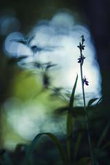 Bien cachée dans le sous bois ! (bulledenature62) Tags: orchidée ophrysinsectifera fleur flowers flowersandmacro plante reflex62 deniscoeurphotographe62 photographenature photographepasdecalais fineart fineartphotography artphoto artfleur portraitdefleurs macrobliss macroperfection bokehaddict bokehperfection hautsdefrance