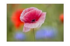 Dreams (SonjaS.) Tags: mohnblüte mohnfeld mohnblume canoneos6dmarkii sonjasayer badenwürttemberg ausderreihe 100mmmakro poppyfields poppys