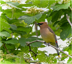 Cedar Waxwing (Summerside90) Tags: birds birdwatcher cedarwaxwing june spring backyard garden nature wildlife ontario canada