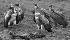 Look over there... (wildcaty) Tags: vulture whitebackedvulture africanvultures endangered lovevultures birds african aficanwildlife cleanupcrew maasaimara kenya nikon nikond500 blackandwhite