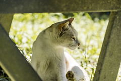喵~ (一 B_A_C 一) Tags: taiwan sony a73 a7iii a7m3 a7 台灣 外拍 旅拍 travel 南投 清境 貓 cat 喵喵森林 草地 喵