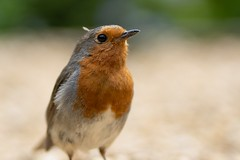 Robin (jillyspoon) Tags: gardenbird depthoffield dof northyorkshire harrogate harlowcarrgardens harlowcarr primelens 85mm sony sonya7iii somyalpha gardenbirds feathers redbreast bird robin