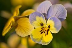 Garden Pansy (pstenzel71) Tags: blumen natur pflanzen pansy stiefmütterchen viola gartenstiefmütterchen gardenpansy violawittrockiana darktable flower bokeh spring frühling