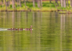 Ducklings (mclcbooks) Tags: ducks duck duckling ducklings birds water lake reflections green chatfieldstatepark lakechatfield colorado landscape animals wildlife