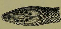 This image is taken from Venoms : venomous animals and antivenomous serum-therapeutics (Medical Heritage Library, Inc.) Tags: venoms snake antivenins leedsuniversitylibrary ukmhl medicalheritagelibrary europeanlibraries date1908 idb21503485