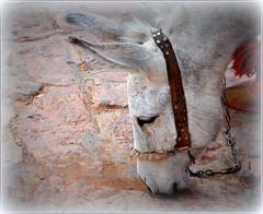 un petit copain croisé dans le village d'Abyâneh ! (Save planet Earth !) Tags: animal âne donkey iran amcc nikon fabuleuse