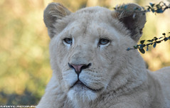 White lion- Zoo Amneville (Mandenno photography) Tags: animal animals dierenpark dierentuin dieren zoo zooamneville amneville france frankrijk lion lions leopard white whitelion cat cats cub bigcat big ngc nature natgeo natgeographic