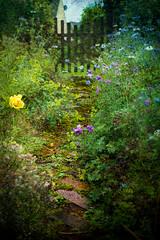 Rain on the garden path (judy dean) Tags: judydean 2019 garden path rain dripping wet flowers gate 365the2019edition 3652019 day164365 13jun19