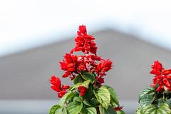Salvia (Warp Factor) Tags: backyard canont4i hummingbird spring2019 tamron70200f28 flowers salvia