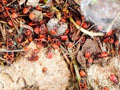 Fire Bug- Pyrrhocoris apterus (mickmassie) Tags: bergerac france hemiptera heteroptera insecta pyrrhocoridae