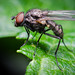 Probably a Robber-Fly