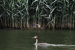27600 Etang de Meudon 13/06/2019 Grèbes huppés (ChrisDeno92) Tags: étang oiseau grèbehuppé forêt meudon