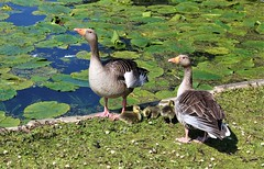 Greylag geese and goslings (Martellotower) Tags: