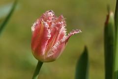 Pretty in Pink (steve_whitmarsh) Tags: bokeh flower flowers tulip red nature plant macro closeup pink topic