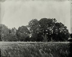 Rainy day V (Rosenthal Photography) Tags: schneiderkreuznachxenar300mm35 aluminotypie 8x10 kollodium epsonv800 f11 159 nasplatte vocecamera8x10tc grosformat ilfordrapidfixer tintypie 20190502 analog 7sek landscape backyard meadow field tree farm mood june summer sun sunshine voce tc vtc sk schneiderkreuznach 300mm f35 7sec collodion wetplate tintype aluminotype ilford rapid fixer epson v800