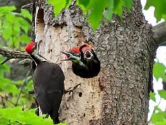 """HAPPY BIRTHDAY, MERYL!"" (Meryl Raddatz) Tags: bird woodpecker pileated pileatedwoodpecker nature naturephotography canada wildlife"