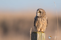 Short Eared Owl (Simon Stobart) Tags: short eared owl asio flammeus perched post north east england uk