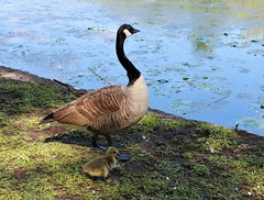 Canada Goose and her gosling (Martellotower) Tags: canada goose gosling the mere scarborough