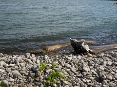 A tree trunk in lake Ontario provides art (Trinimusic2008 -blessings) Tags: toronto ontario canada nature to trinimusic2008 judymeikle june spring raptors 2019 nbafinals wethenorth sonydschx80