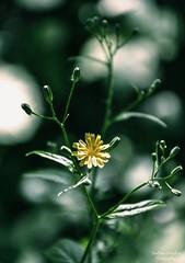 Deep in their roots, all flowers keep the light (barbara_donders) Tags: natuur nature spring lente flower bloem yellow geel macro bokeh dof mooi prachtig beautiful magical magisch