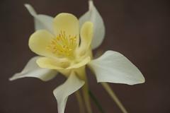 déesse du printemps (christophe.laigle) Tags: christophelaigle fuji xpro2 xf60mm ancolie columbine fleur flower jaune macro nature yellow
