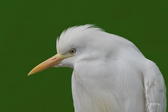 Cattle Egret (jt893x) Tags: 150600mm bird bubulcusibis cattleegret egret heron jt893x nikon nikond500 portrait sigma sigma150600mmf563dgoshsms thesunshinegroup coth alittlebeauty coth5 sunrays5