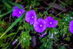 Peninsula Golf-942773 (Jeffrey Balfus (thx for 5,000,000 views)) Tags: a9 sonyalpha sanmateo california unitedstatesofamerica flower blue sonya9 ilce9 fe24240mmf3563oss sel24240