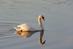 Mute swan (marksargeant57) Tags: cygnusolor waterbird bird waterfowl canonpowershotsx60hs reflection swan water muteswan
