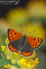 Small Copper (Lycaena phlaeas) (gcampbellphoto) Tags: lycaena phlaeas small copper insect invert butterfly nature wildlife macro north antrim gcampbellphoto