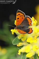 Small Copper (Lycaena phlaeas) (gcampbellphoto) Tags: lycaena phlaeas small copper insect invert butterfly nature wildlife macro north antrim gcampbellphoto