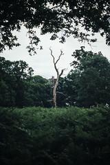 Richmond Park (Roberto Ragno) Tags: nature ferns tree dead filmisnotdead film canonae1 canon ae1 fuji provia fujiprovia ishootfilm landscape richmond park england uk london