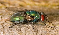 Green Bottle Fly (Dibbly Dobbler) Tags: sonya7rii 90mm macro green bottle lucilia sericata