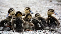 The cuttest bunch of fluff (moniquerebanks) Tags: ducklings ducks waterfowl closeup fluffy cute nikond7100 birds eendjes eenden vogels watervogels natuur wildevogels wildbirds nature