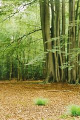 Epping forest (Roberto Ragno) Tags: canon ae canonae1 ae1 ishootfilm filmisnotdead film kodak epping forest england nature landscape expired london united kingdom
