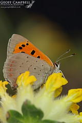 Small Copper (Lycaena phlaeas) (gcampbellphoto) Tags: macro nature butterfly insect wildlife small north copper invert antrim lycaena phlaeas gcampbellphoto