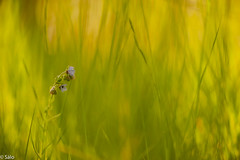 Lengua de perro (salo75) Tags: catalunya bokeh 105vr28 paisaje macro d700 hierba desenfoque flor flowers flores baixllobregat nikon molinsderey provinciadebarcelona españa