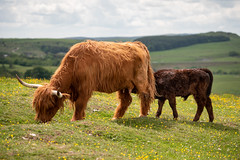 Highland cattle cow with calf (Dannis van der Heiden) Tags: highlandcattle cow calf grass grassland grasslandscape flowers flies hills peakdistrict clouds calfdrinking drinking england uk scottischcattle nikond750 tamron70210mmf4 d750 nature buxton