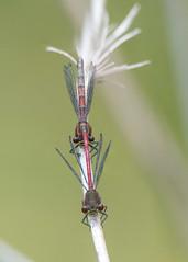 Large Red Damselflies (Gareth Keevil) Tags: 7imagestack arctictern cerdigion closeup damselfly detail dragonfly garethkeevil incop largereddamselfly macro nikon nikon300mmpf nikond500 rspb rspbynyshir spring stack uk wales