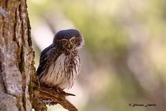Pygmy owl, curiosetta, piccolina e simpatica! (silvano fabris) Tags: nature canonphotography wildlifephotography animals uccelli birds rapacinotturni pygmyowl civettanana