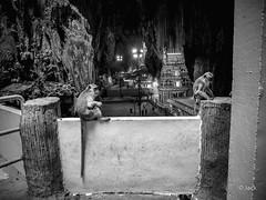 en passant par KL (Jack_from_Paris) Tags: p1000337bw panasonic dmcgx8 monochrome mono bw noiretblanc raw mode dng lightroom rangefinder télémétrique capture nx2 lr wide angle kl kuala lampur batu caves tourisme voyage travel singes monkeys