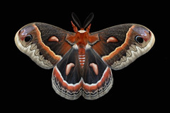 Cecropia Moth (Hyalophora cecropia) (Douglas Heusser Photography) Tags: hyalophora cecropia moth giant silk silky wings symmetry nature lepidoptera lepidoptery wildlife transformation canon macro photography photo 100mm lens graslon flash diffuser heusser color art eyespots patterns natural science